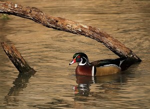 Wood_Duck_Drake